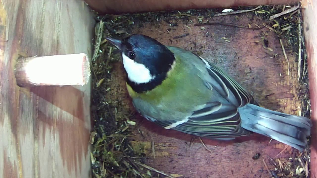 04/04/18 Nestbox 2 great tit visit